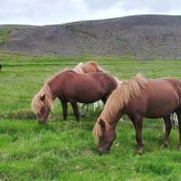 Edini kopenski sesalec, ki je živel na Islandiji ob prihodu prvih naseljencev, je bila arktična lisica. Skozi stoletja so na otok uvozili tudi druge vrste, ena izmed njih je islandski konj.