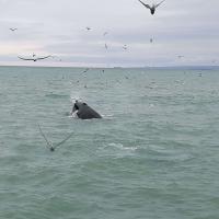Sožitje na morju - kit grbavec prijateljuje s številnimi pticami.